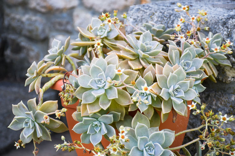 Growth Plant Succulent Plant Beauty In Nature Flower Flowering Plant Nature Day Focus On Foreground Close-up No People Cactus Vulnerability  Fragility Freshness Leaf Green Color Plant Part Petal High Angle View Flower Head Outdoors Bunch Of Flowers Bouquet