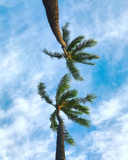 iPhonography at its finest! 😂 sometimes you look up while you're swinging in your hammock and you notice two palm trees. Then you're like, huh that looks nice. Low Angle View Sky Tree Cloud - Sky Nature Growth Cloud Palm Tree Outdoors No People Beauty In Nature Day Tranquility Branch Palm Palm Tree Hawaii Honolulu  No Way Jose