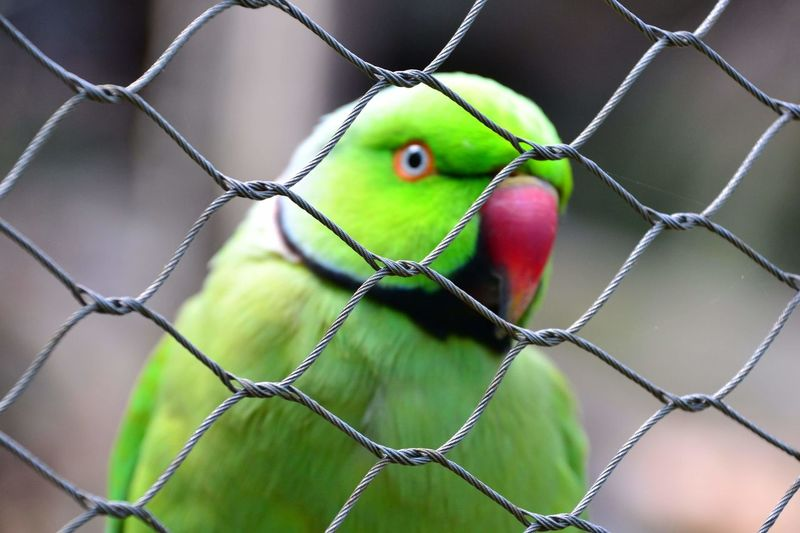wildlife birds EyeEmNewHere Bird Pets Cage Trapped Protection Prison Chainlink Fence Close-up Green Color Sky