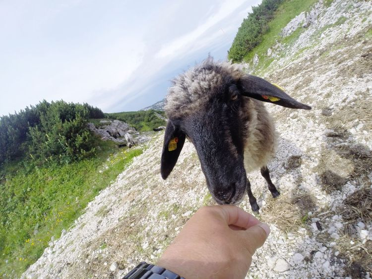 Sheep Untersberg