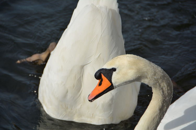 05/10/2015 Animal Themes Animals In The Wild Beak Bird Close-up Day Floating On Water High Angle View Lake Mute Swan Nature No People One Animal Outdoors Swan Swimming Swimming Animal Water Water Bird White Color Zoology