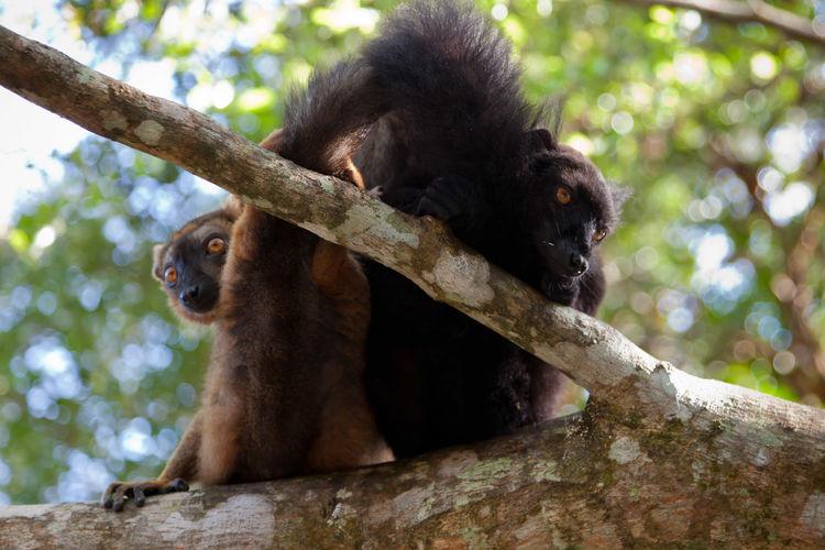 Lemurs sitting