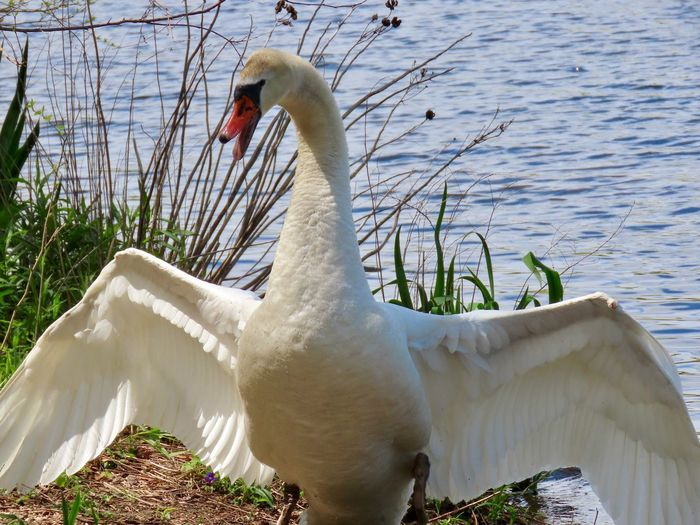 Male mute swan with a warning not to get too close to the babies hissing with wings wide spread water grass land nature Animal Wildlife Animal Themes Water Bird No People