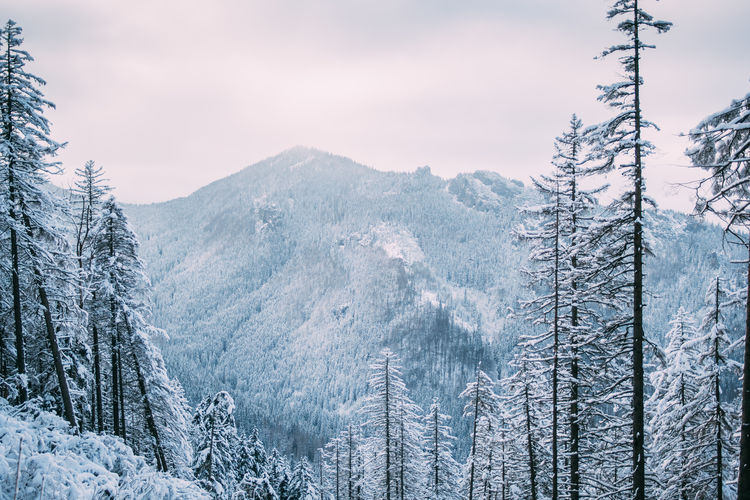 Tree Winter Snow Beauty In Nature Cold Temperature Tranquil Scene Nature Mountain Forest Outdoors Tatry Poland Mountains Pine Tree