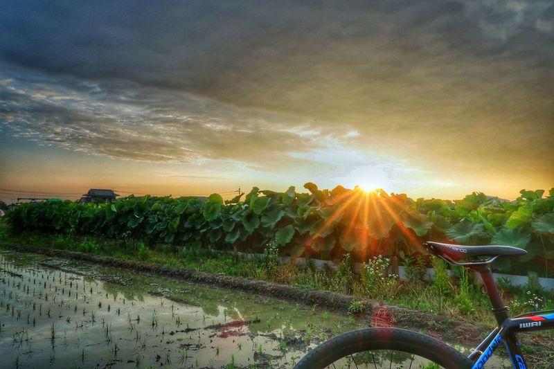 蓮根畑 田んぼ 田んぼリフレクション リフレクション 蓮 葉っぱ 朝日 Sun EyeEm Nature Lover EyeEm Best Shots EyeEm Gallery Lotus Leaf Lotus Sunlight Sunrise Water Reflection サイクリング ロードバイク 自転車 Cycling Bicycle Cloud - Sky Sunlight Cyclocross