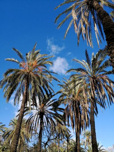 Date palm trees in grove Tropical Date Palm Trees Date Palm Tree Date Palm Date Palm Date Palms