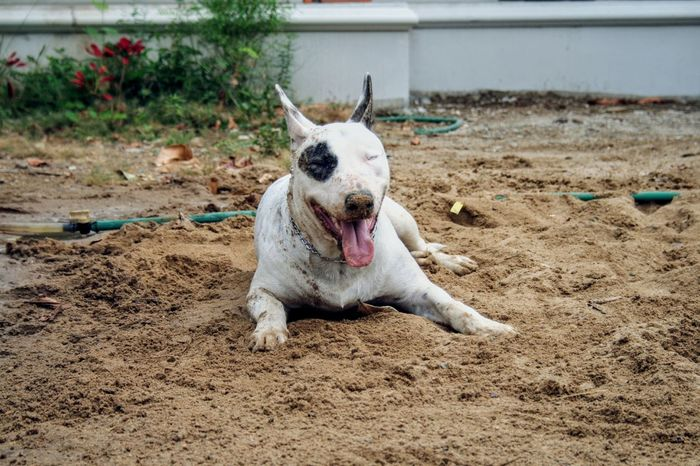 My job is playing, I am a happy dog Pets Pet Sand Dogs Dogs Of EyeEm Dog❤ My Dog Animal Animals Chiang Mai | Thailand Bullterrier Bull Terrier Dog Playing Dog Posing Dog Sand Water