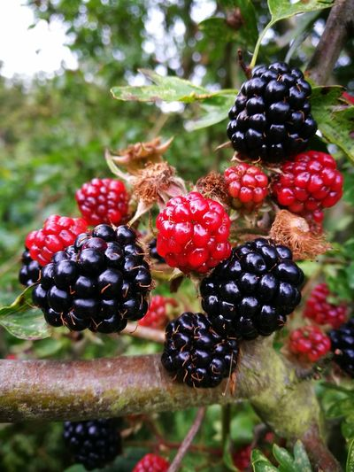 Fruit Food And Drink Blackberry - Fruit Healthy Eating Juicy Close-up Berry Berry Fruit Selective Focus Focus On Foreground Nature_collection Ripe Red Food Freshness River Tyne, Newcastle Upon Tyne Newburn P9photography Mobile Photography Beauty In Nature Flower Head Vibrant Color In Bloom Outdoors