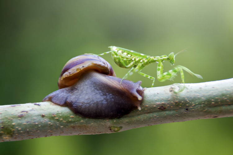 mantis and snail Invertebrate Animal Themes Animal Wildlife Animal One Animal Animals In The Wild Insect Close-up Plant Nature Gastropod Mollusk Day Snail No People Selective Focus Focus On Foreground Green Color Growth Beauty In Nature Outdoors Crawling