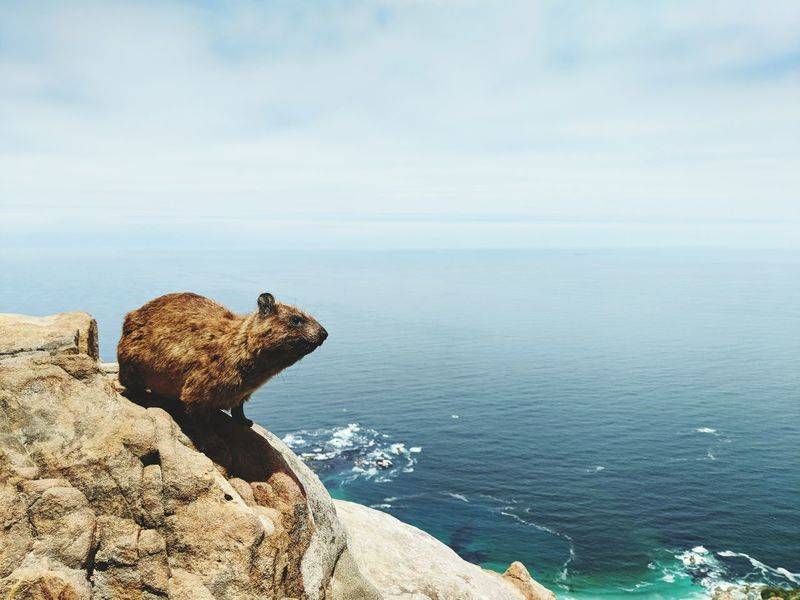 We call them dassies here in Cape Town. They usually make an appearance at the peak of Lions head. Hyrax EyeEmNewHere Dassie Mountain Peak Ocean Cape Town EyeEm Selects Water Reptile Sea Sky Horizon Over Water