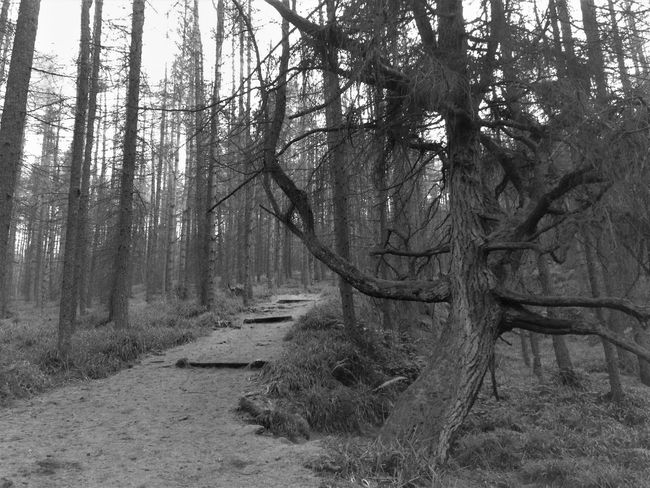 Beauty In Nature Blackandwhite Branch Day Forest Growth Larches Nature No People Non-urban Scene Outdoors Path Sky Tranquil Scene Tranquility Tree Tree Trunk Woodland Walk