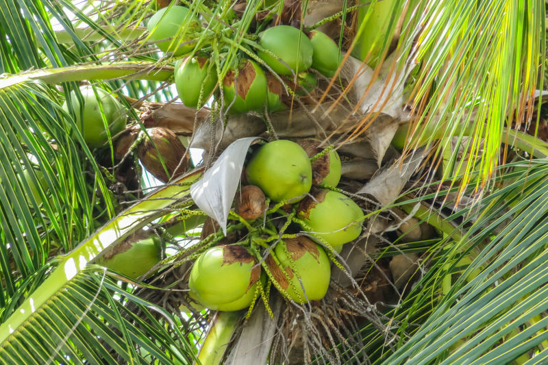 Coconut tree Abundance Bunch Close-up Coconut Palm Tree Day Freshness Fruit Full Frame Green Green Color Group Of Objects Growth Large Group Of Objects Nature No People Outdoors Plant