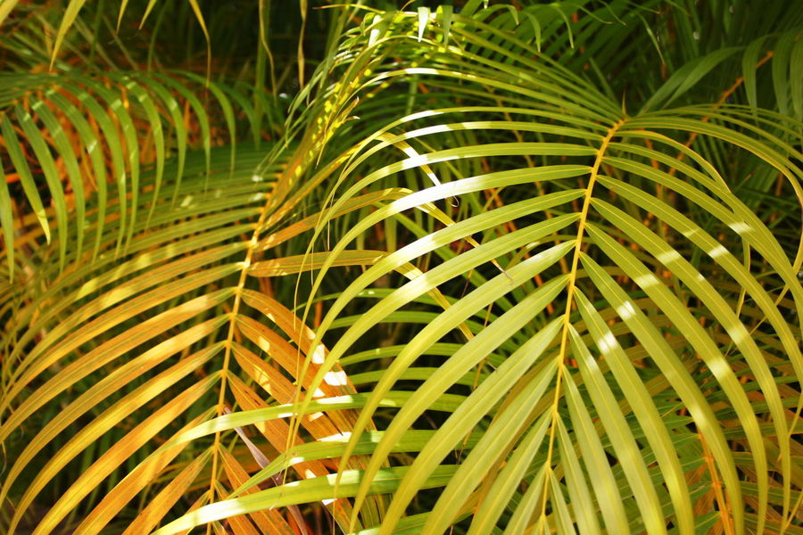 2007 Dominican Republic Dominicus Beach Beauty In Nature Close-up Day Frond Green Color Growth Leaves Nature No People Outdoors Palm Tree Plant