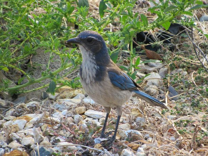 Scrubjay CA Birds🐦⛅ Bird Wildlife Bird Watching Bird Photography Avian One Bird Single Bird