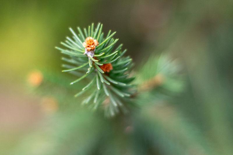 Pine rose Plant