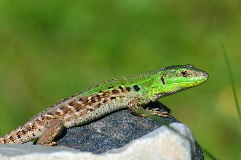 Wild Animal EyeEm Best Shots EyeEmBestPics EyeEmAnimalLover The Portraitist - 2019 EyeEm Awards Reptile Close-up Green Color Lizard Animal Scale Animal Skin Skin Leg