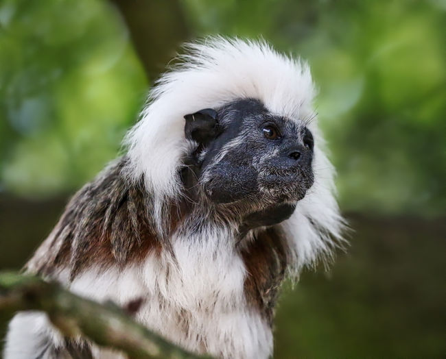 Cotton Top Tamarin Animal Body Part Animal Hair Animal Head  Animal Themes Beauty In Nature Black Color Close-up Day Focus On Foreground Mammal Nature No People Outdoors Portrait Selective Focus Wildlife