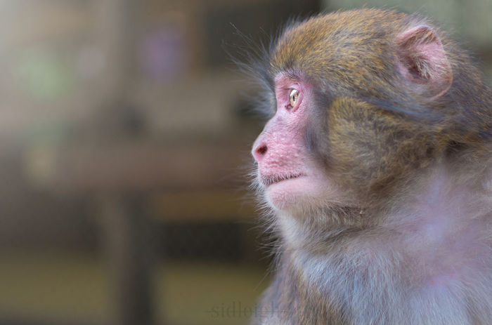A Young Macaque a the awajishima monkey centre Macaque Animal Themes Animal Wildlife Awaji Awajishima Baby Close-up Day Japan Macaque Mammal Monkey No People One Animal Primate