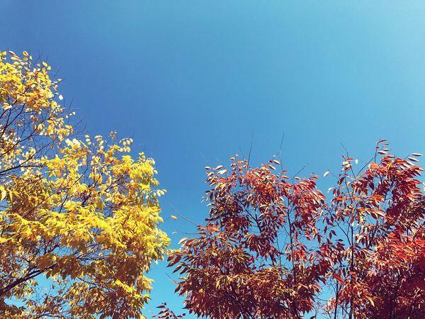 One Autumn Afternoon Sky Skyscape Autumn Leaves Autumnsky Maple Leaf Blue Sky Redmapleaves Yellowleaves EyeEmNewHere