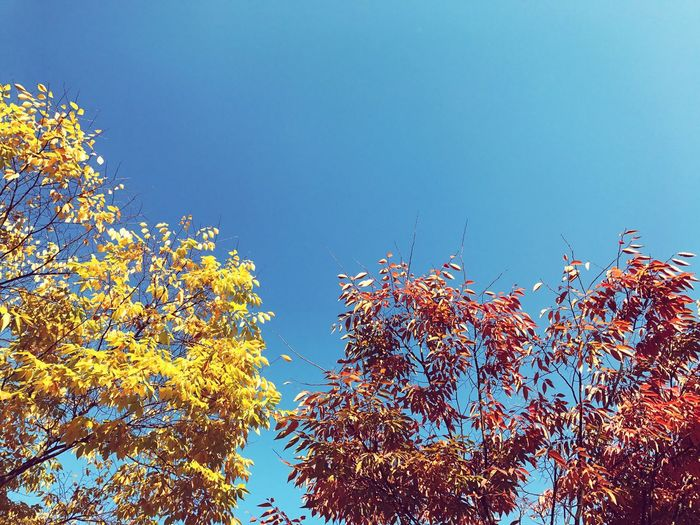 One Autumn Afternoon Sky Skyscape Autumn Leaves Autumnsky Maple Leaf Blue Sky Redmapleaves Yellowleaves EyeEmNewHere