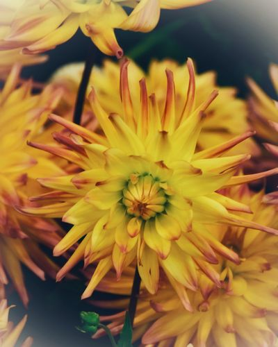 Dahlia Dahlias Flower Flowering Plant Fragility Vulnerability  Plant Flower Head Freshness Day Nature No People Stamen Macro Springtime Pollen Yellow Close-up Growth Beauty In Nature Petal Inflorescence