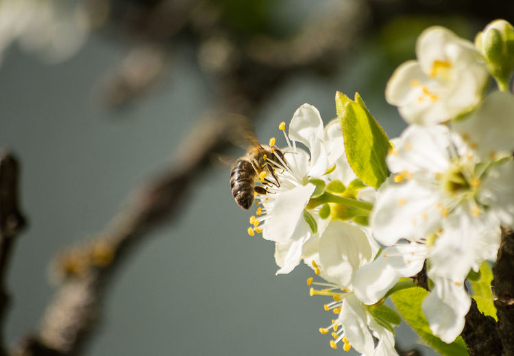 Close-up of honey bee on blossom
