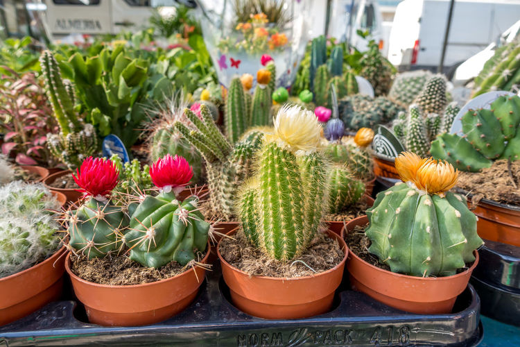 Potted Plant Succulent Plant Plant Cactus Growth Green Color Beauty In Nature Nature No People Thorn Botany Variation Choice Spiked Greenhouse Barrel Cactus Close-up Flower Pot Outdoors Plant Nursery Retail Display Roquetas De Mar Street Market SPAIN Almería
