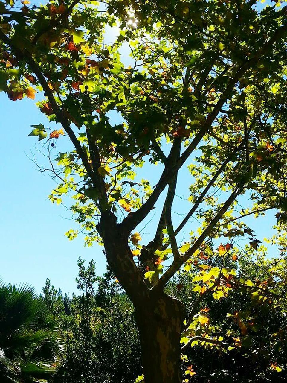 tree, low angle view, growth, nature, day, branch, outdoors, tree trunk, no people, beauty in nature, clear sky, sky