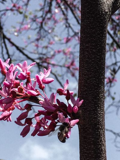 I have been wanting a shot of a bee on this tree's blossom - finally got it just snapped and hoped that I had a good shot because my hands were full lol Bee Blossoms  Flowers Flowerporn Flower Collection Blossom Trees Photogra-tree Spring Springtime