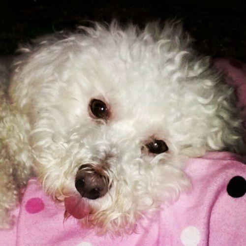 My gramas dog is kinda Stupit LOL LilDog Withhistoungeout