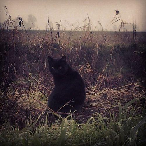 Incrociando una belva sulla strada di casa. Black Cat Wilde Fierce countryside yellow eyes @gattidiinstagram @cats_of_instagram