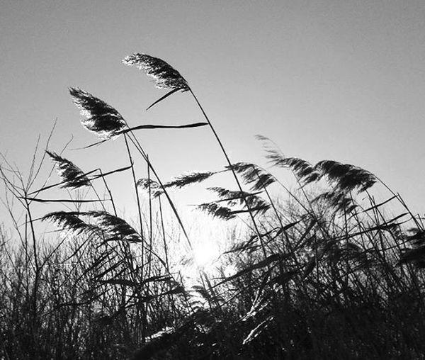 Nad Reed Naturelovers Naturephotos Nature Naturephotography Naturephotographer Természetfotók Természetfoto Természet Magyarfoto Magyarország Magyar Magyarfotósok Nap Napfeny Sun Sunlight Blackandwhite
