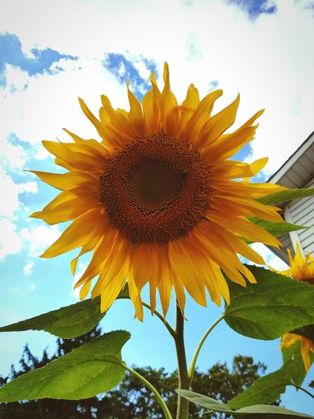 Hellosunshine Naturesbeauty Sunflower Flowers InTheGarden