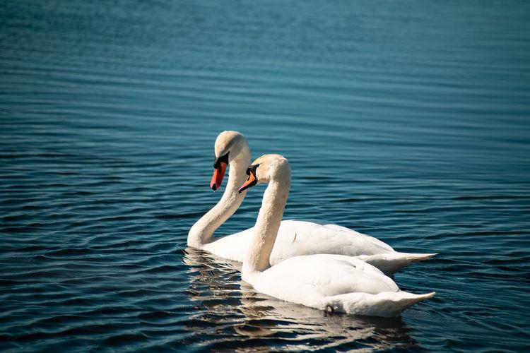 Swans floating on lake