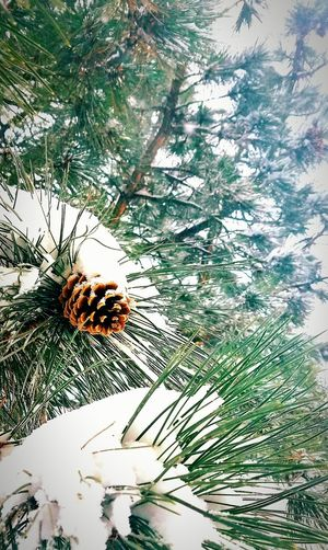 EyeEm Best Shots EyeEm Nature Lover EyeEm Gallery Close-up Growth Subzero Snow On The Evergreens Taking Photographs Beauty In Nature No People Branch Having Fun In The Snow Snowblanket Looking Up Sky Outdoors Pinecones Colorado Springs CO USA