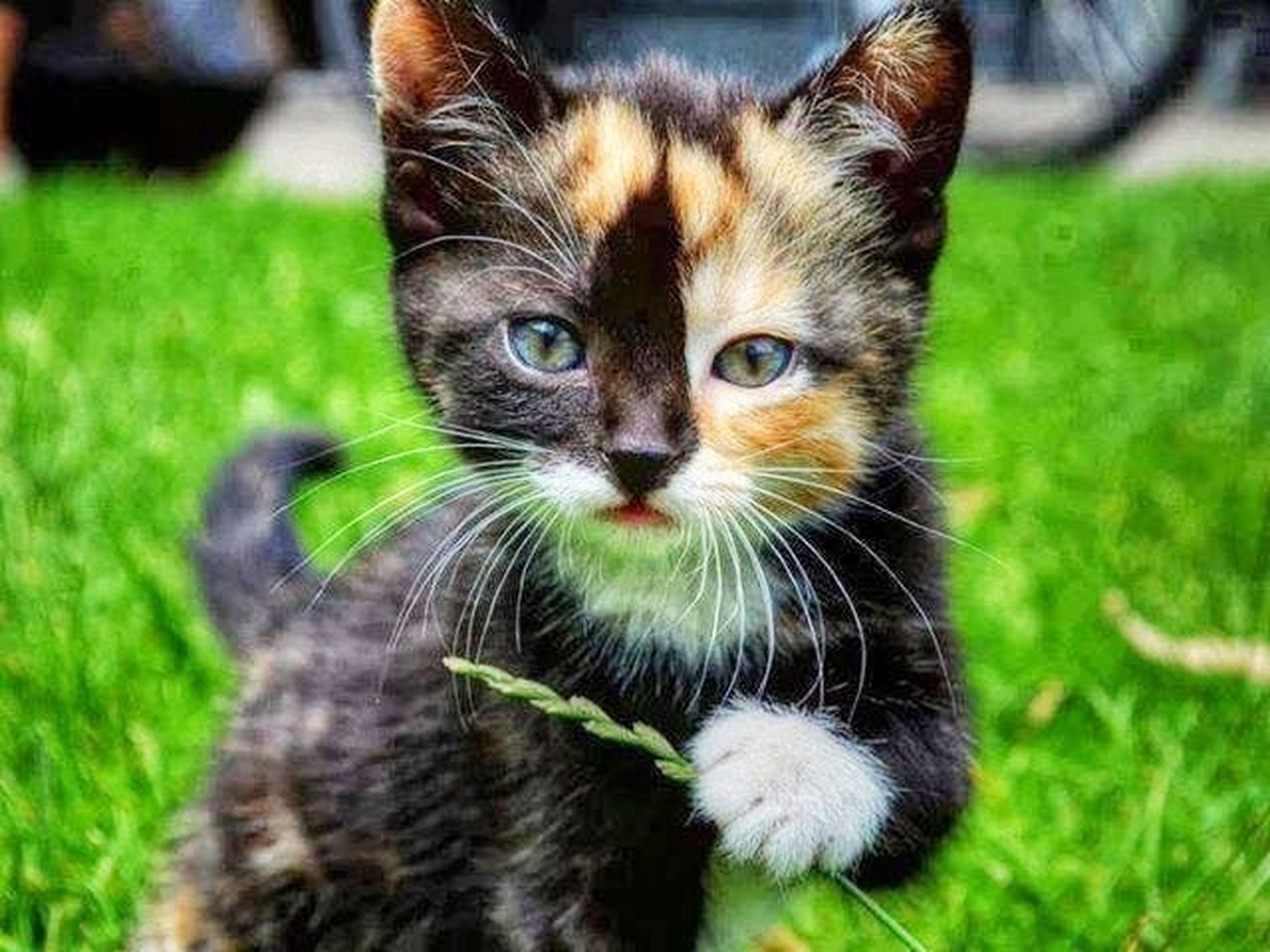 animal themes, one animal, pets, domestic animals, mammal, domestic cat, cat, feline, grass, whisker, looking at camera, portrait, focus on foreground, field, close-up, grassy, animal head, selective focus, sitting, alertness