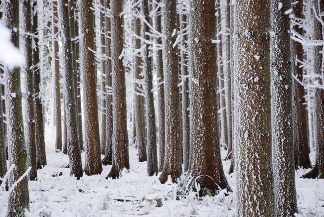 Snow Winter Cold Temperature Forest Nature Pinaceae No People Snowing White Color Frozen Tree Trunk Tree Scenics Landscape Pine Tree Day Beauty In Nature Tranquility Tranquil Scene Environment Hoarfrost Whitefrost