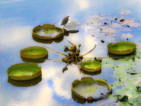 Lily Pond Birdwatching Birds Of EyeEm  Birds_collection Lotus Pond Lotus Leaf A Moment Of Zen... Leaf 🍂 Just Having Fun Getting Inspired Beautiful Nature Capture The Moment Inspired By Beauty EyeEm Nature Lover Beauty In Nature From My Point Of View Feeling Inspired Magic Moments Blue Sky Sweet Moments Water_collection Pattern, Texture, Shape And Form Water Ripples Watet Reflections Playing With Water