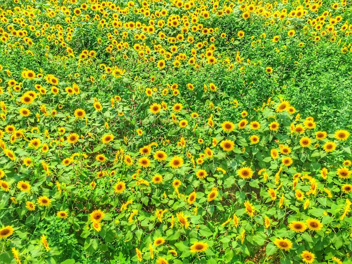 Sunflower IPhoneography Shot On IPhone Mobilephotography Festival Sunny Day EyeEm Nature Lover