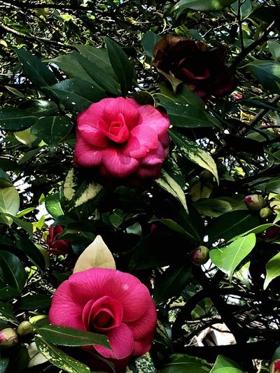 Flower Pink Color Petal Nature Beauty In Nature Flower Head Growth