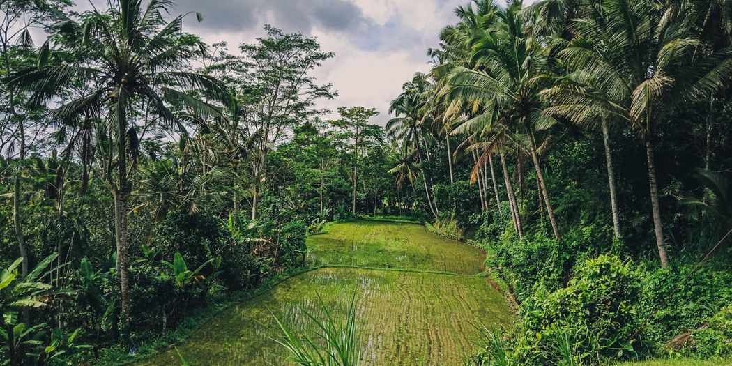 bali rice field Bali Rice Field Nature Green Day Green World Nature Photography EyeEm Nature Lover Nature Photograhy Nature_ Collection  Naturelover Rice Fields Bali Rice Field Bali Bright Tree Agriculture Water Sky Grass Green Color Landscape Farmland Irrigation Equipment Agricultural Equipment