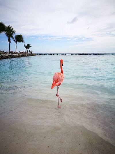 Watching the world go by... Caribbean Sea Aruba Caribbean Aruba One Happy Island Aruba♥ Pink Color Lovely Flamingo Water Bird Full Length Sea Beach Sand Tropical Climate Sky