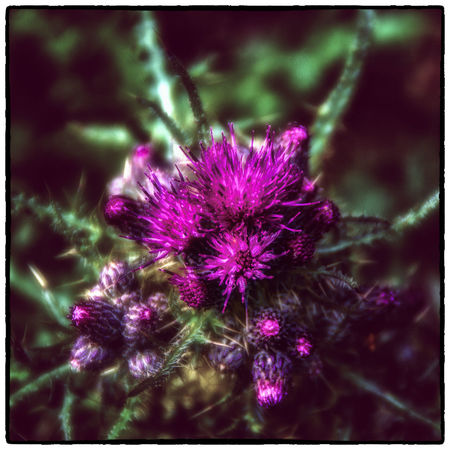 Beauty In Nature Blooming Blossom Close-up Cruagh Woods Dublin Dublin Mountains Flower Flower Head Focus On Foreground Fragility Freshness Growth In Bloom Ireland Irelandinspires Ireland🍀 Nature Outdoors Petal Pink Color Plant Purple Selective Focus Thistle