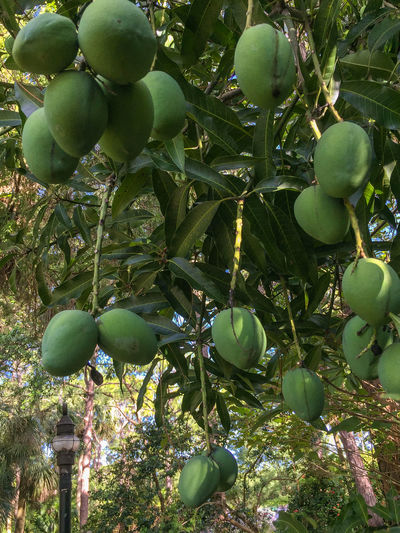 Green mangoes and lamp post Beauty In Nature Branch Close-up Food Food And Drink Freshness Fruit Green Color Green Mangoes Growing Growth Hanging Healthy Eating Mango Tree Mangoes No People Outdoors Tree Unripe