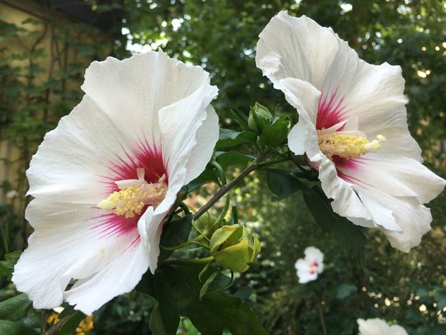 The OO Mission Ibiscus Flowers White White Flower Garden Garden Photography Close-up