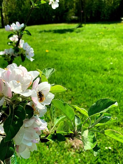 Spring Bee Flower Backgrounds Copy Space Nature Photography Flower Bee Plant Flower Flowering Plant Beauty In Nature Growth Fragility Vulnerability  Green Color Close-up Focus On Foreground Invertebrate Flower Head Inflorescence No People Insect Nature Petal Freshness White Color Day