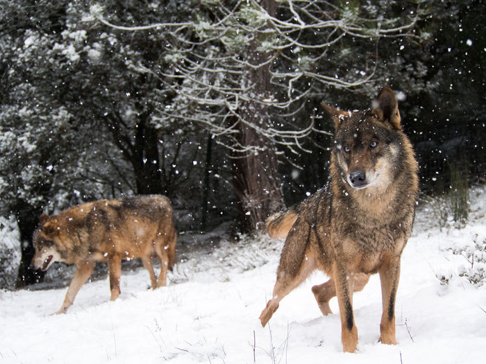 Couple of iberian wolves (Canis lupus signatus) in the snow in the forest in winter Animal Canis Lupus Carnivorous Couple EyeEmNewHere Eyes Forest Habitat Iberian Male Mammal Nature Portugal Predators Season  Signatus Snow Spain♥ Timber Wild Wilderness Wildlife Winter Wolf WOlves