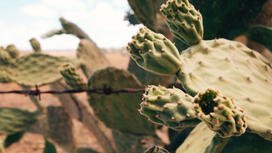 Farm Yellow Australia Sunflower Queensland Growth Plant Cactus Succulent Plant Nature Close-up Beauty In Nature Vulnerability  Tranquility Outdoors Selective Focus Spiked Green Color Prickly Pear Cactus Focus On Foreground Day Flower No People Thorn Sunlight