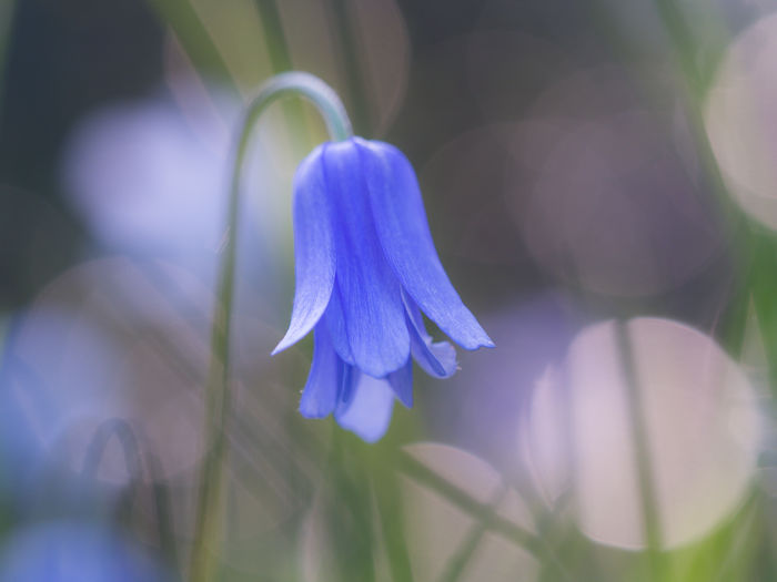 Close-up of blue spring flower Marie-Beatrice Rich Olympus Beauty In Nature Blooming Blue Bell Blue Bells Bokeh Bokeh Photography Close-up Day Flower Flower Head Fragility Freshness Growth Light And Shadow Moody Photography Nature No People Outdoors Petal Plant Spring Photography Springtime