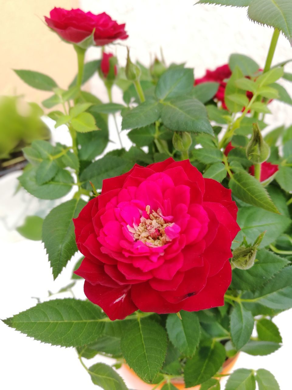 flower, petal, leaf, beauty in nature, nature, fragility, red, growth, freshness, plant, rose - flower, no people, flower head, pink color, blooming, green color, day, outdoors, close-up, zinnia